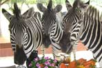 Zebras Crossing - Photo 6